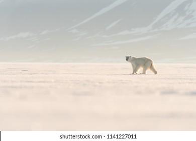 Polar Bear (Ursus maritimus) - Stroll on the Ice