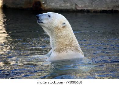 Polar Bear - Ursus Martimus