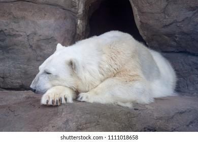 Polar bear (Ursus Thalarctos maritimus) in the Moscow Zoo