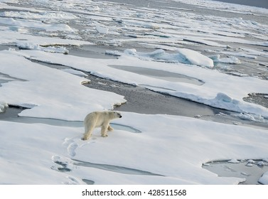 Polar bear walking across a vast expanse of ice floes north of Svalbard in the Arctic Ocean.