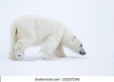 A Polar Bear walking across the white frozen landscape of Svalbard.
