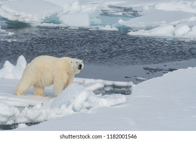 polar bear walking along ice floes in arctic ocean above svalbard norway, and looking toward camera
