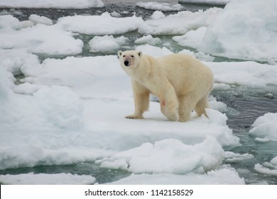 Polar bear walking in an arctic.