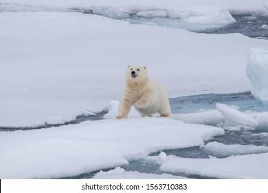 Polar bear is walking on the ice
