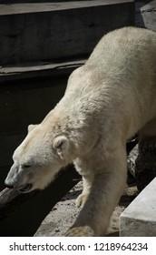 Polar bear walking on rock
