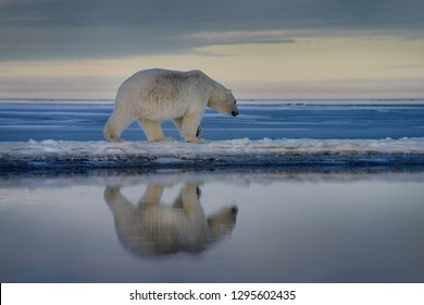 Polar bear walking on spit of snow covered Barter Island with reflection in water of Kaktovik Lagoon Alaska