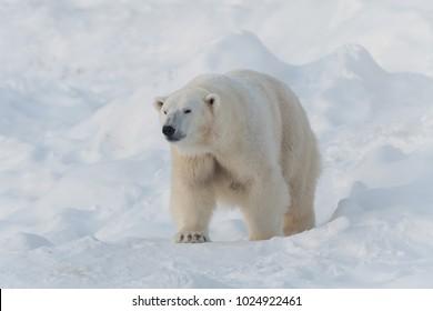 Polar bear walking on white snow
