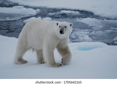 Polar bear walking in the Svalbard area searching for food