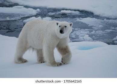 Polar bear walking in the Svalbard area searching for food - Shutterstock ID 1705642165