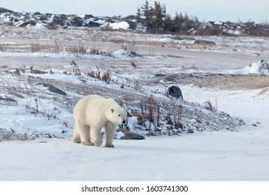 Polar bear walks across frozen pond in Churchill, Manitoba, Canada.  Frozen tundra landscape in background.