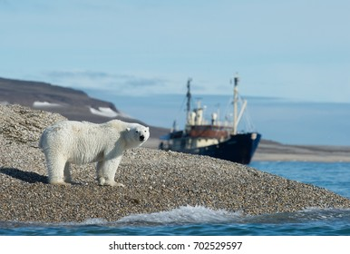 polar bear walks along arctic region pebbly shoreline in norwegian svalbard, with exploration vessel anchored in background