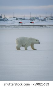 Polar Bear walks along the frozen sea next to Barter Island airstrip