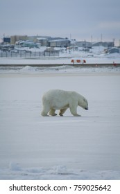 Polar Bear walks past Kaktovik and the Barter Island airstrip
