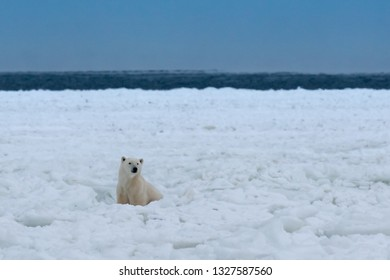Polar bear watching from the distance