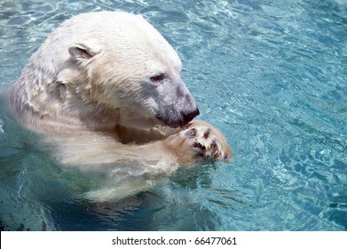 Polar bear in the water eating fish at a zoo
