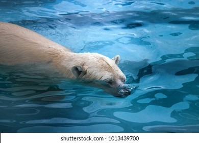 Polar bear in water. This bear can swim in water with temperature zero or minus two degrees (Arctic ocean) hundreds of miles without rest (sea-bear Thalarctos maritimus)