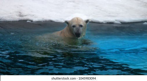 Polar bear in water. This bear can swim in water with temperature zero or minus two degrees (Arctic ocean) hundreds of miles without rest (sea-bear Thalarctos maritimus), good dives
