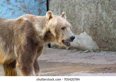 Polar bear or white bear, waiting for somebody to throw him something to eat