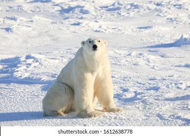 Les ours polaires de Churchill, au Manitoba Le Canada attire des milliers de visiteurs chaque année.  Ces animaux sauvages attirent les amateurs d'aventures car ils sont la principale attraction.