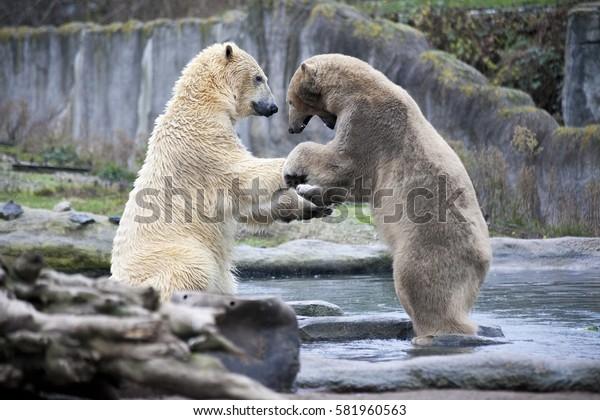 Polar bears close up .