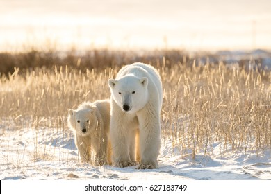 Polar bears on tundra in Arctic sunset