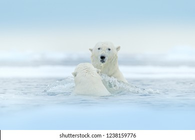 Polar bears playing in the water with ice. White animals fight in the nature habitat, Svalbard, Norway. Bears playing in snow, Arctic wildlife. Funny image from nature. Arctic wildlife.