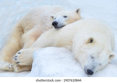 Polar bears sleep in the snow