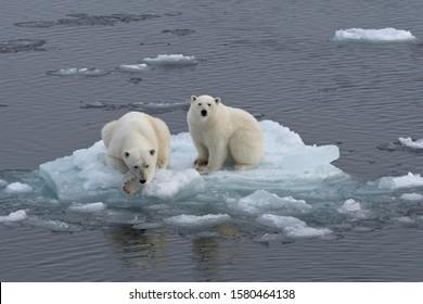 Polar Bears (Ursus maritimus), female and juvenile on an ice floe in the pack ice, Spitsbergen Island, Svalbard Archipeligo, Svalbard and Jan Mayen, Norway