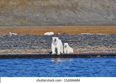 polar female bear and bear cub