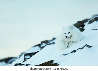 Polar fow resting