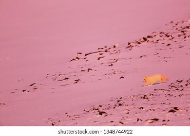 Polar fow in sunset