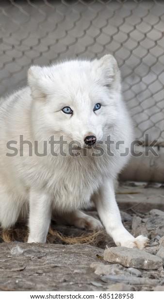 Polar Fox Alopex Lagopus Blue Eyes Stock Photo Edit Now