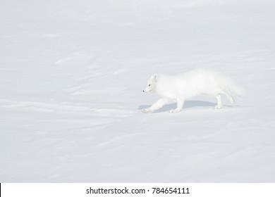Polar fox in habitat, winter landscape in  Svalbard, Norway. Beautiful animal in the snow. Running white fox. Wildlife action scene from nature, Vulpes lagopus, in the nature habitat.