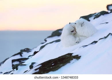 Polar fox on Svalbard