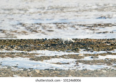 Polar fox in wintery landscape, Svalbard, Norway. Beautiful animal in snow. Wildlife action scene from nature, Vulpes lagopus, in the nature habitat. Hidden in snowy environment.