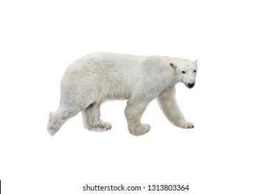 polar white bear goes isolated on a white background
