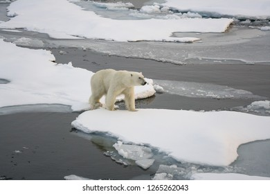 A polar white bear jumps from an ice floe onto an ice floe. Arctic Ocean. Svalbard