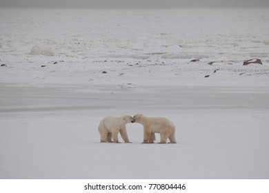 Polarbear Meeting at Hudson Bay