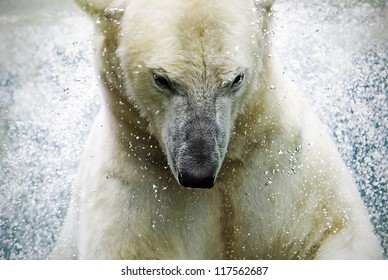 polarbear at a zoo in germany