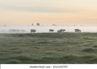 Polder landscape in The Netherlands with cows standing in the early morning fog