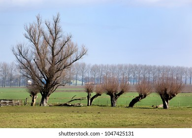 Polder landscape with willows in the Hoeksewaard in the Netherlands