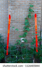 Pole beans on red skis and tomato plants