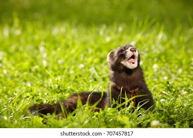 Polecat in summer day watching in park grass