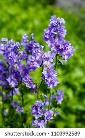 Polemonium caeruleum, known as Jacob's-ladder or Greek valerian, is a hardy perennial flowering plant. The concept of gardening. Medicinal plants in the garden.