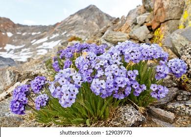 Polemonium Eximium Flower (Jacob's Ladder, Skypilot). Purple wildflower on mountain pass in the Sierra Nevada, California.