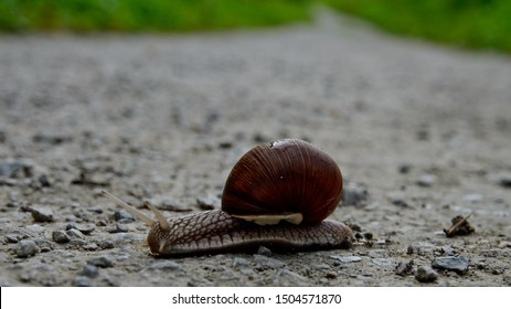 Polenovo, Russia - September 12, 2019: Grape snail