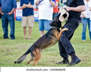 Police K9 Dog Training, Belgian Malinois German Shepherd Biting Sleeve Narcotics Sniff Drugs Search Demonstration