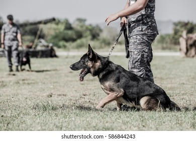 Policeman with a German shepherd dog  ,  Soldiers from the K-9 unit demonstrations to attack the enemy , the green lawns , German Shepherd dog stand.