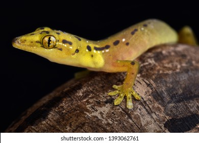 The Polillo false gecko (Pseudogekko smaragdinus) is endemic to the Philippines.