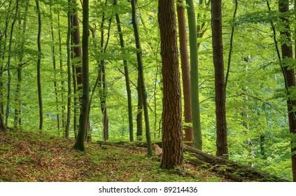 Polish Beech Forest